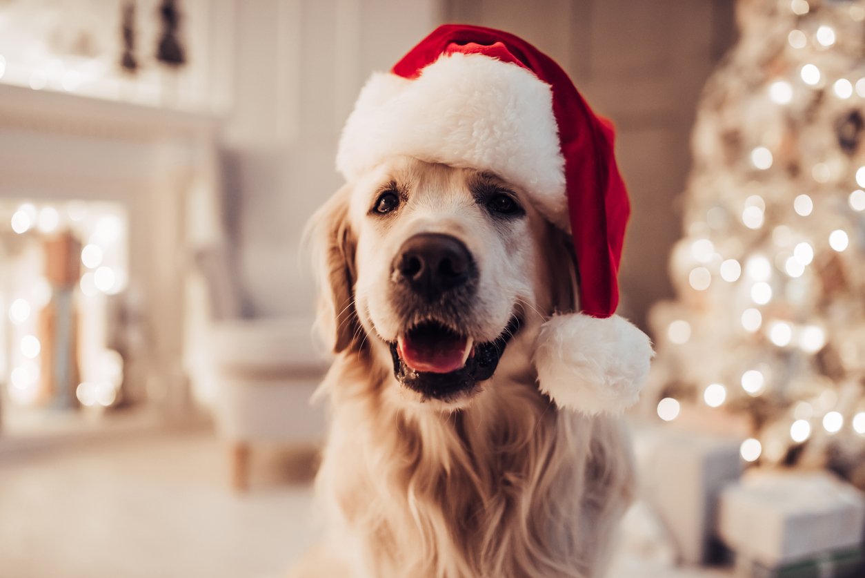 Golden retriever wearing santa hat
